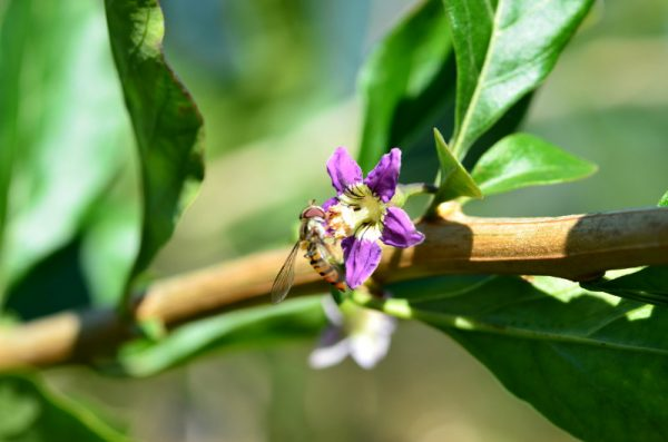 Gojibeeren - Blüte